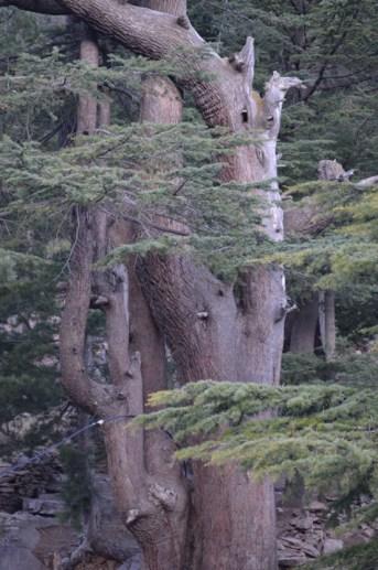 Twists and turns of the Deodar tree, captured outside Hotel Inner Thukpa, Kalpa, Himachal Pradesh, India; Photo: Ameen Shaikh