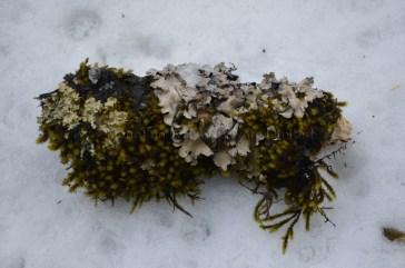 Flip side of the broken bark of oak covered in moss and lichen at Hatu Peak, Himachal Pradesh, India; Photo: Ameen Shaikh