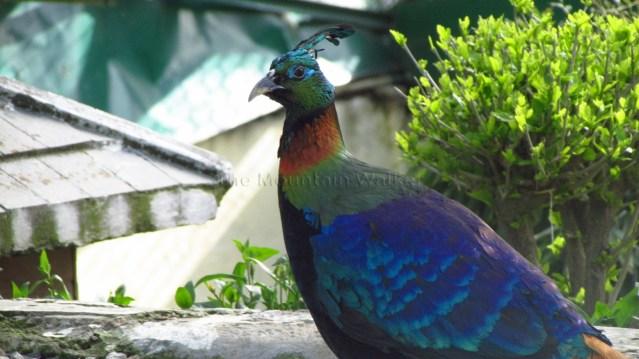 Himalayan Bird Park 08