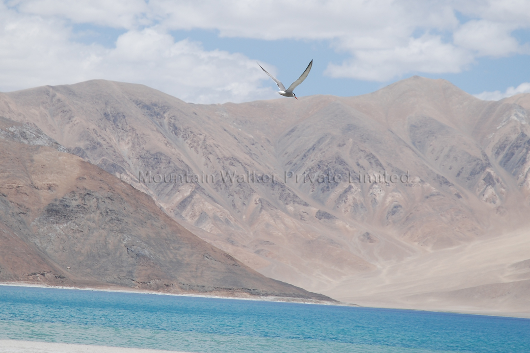 Wish I could fly like this over the Pangong Tso; Photo: Abhishek Kaushal