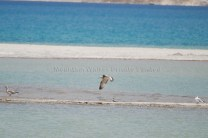 Brown Headed Gull landing at Pangong Tso; Photo: Abhishek Kaushal