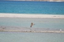Brown Headed Gull landing at Pangong Tso; Photo: Abhishek Kaushal