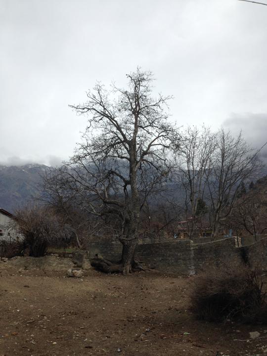 The old Walnut Tree at Prakash Residency, Sangla; Photo: sanjay mukherjee