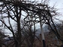 The Negis of Prakash Residency in Sangla also plant grapes. Photo: sanjay mukherjee