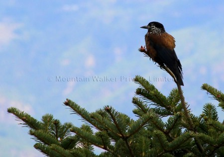 The Spotted Nutcrackers is one of the commonly found birds in Bhutan.