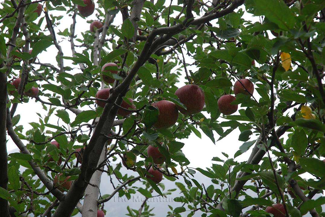Red and Juicy Kinnauri Apples; Photo: Abhinav Kaushal