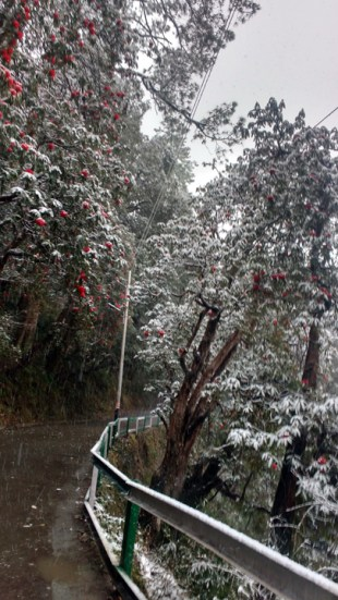 Red Rhododendron trees as snow continues to fall. Pic Courtesy: Rahul Negi.