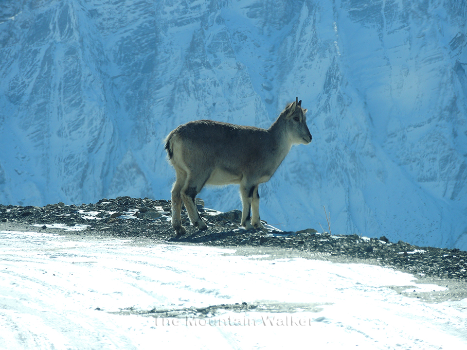 Himalayan Blue Sheep near Kibber, Lahaul and Spiti, Himachal Pradesh, India.