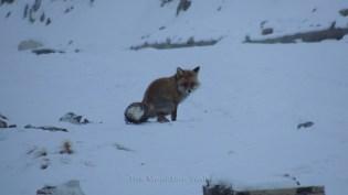 Red Fox; Photo: Abhishek Kaushal