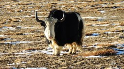 Yak; Photo: Abhishek Kaushal