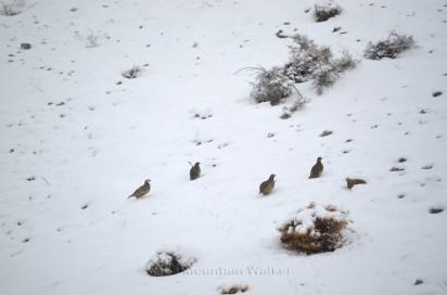 Chukar Partridges; Photo: Abhinav Kaushal