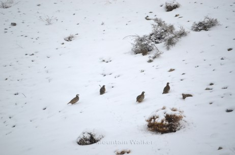 Chukar Partridges; Photo: Abhinav Kaushal