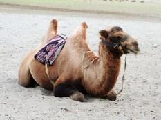 Double Humped Camel at Hunder; Photo: Abhishek Kaushal