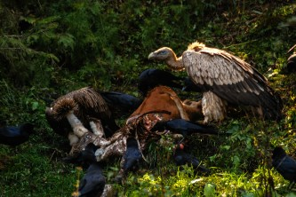 An uncommon sight of scavenging vultures on a treat; Photo: Abhinav Kaushal