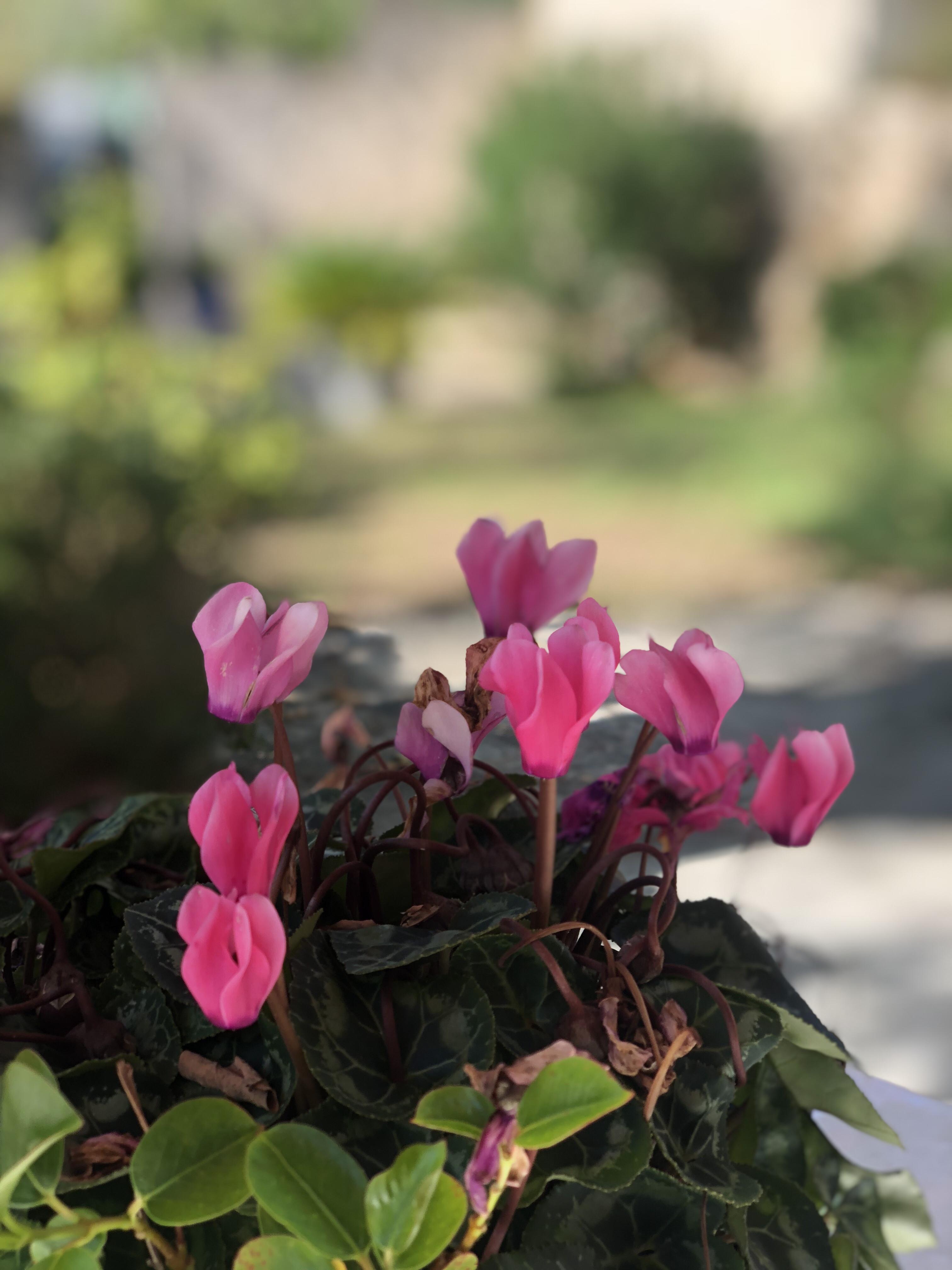 Fleurs roses… Lundi Soleil 22/10/2018