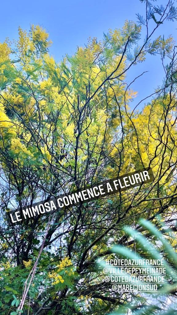 mimosa, cannesisyours, peygros, ambassadricecotedazur, baladevuemer, larebelle, cotedazurfrance, maregionsud, lundi soleil,