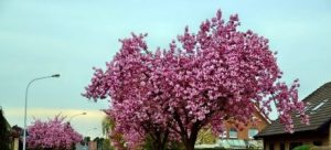 A blossom tree.