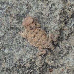 Baby Short horned lizard