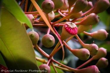 Courtyard gum tree.