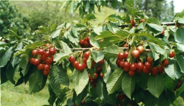 Nothing to cheer for Valley's cherry growers