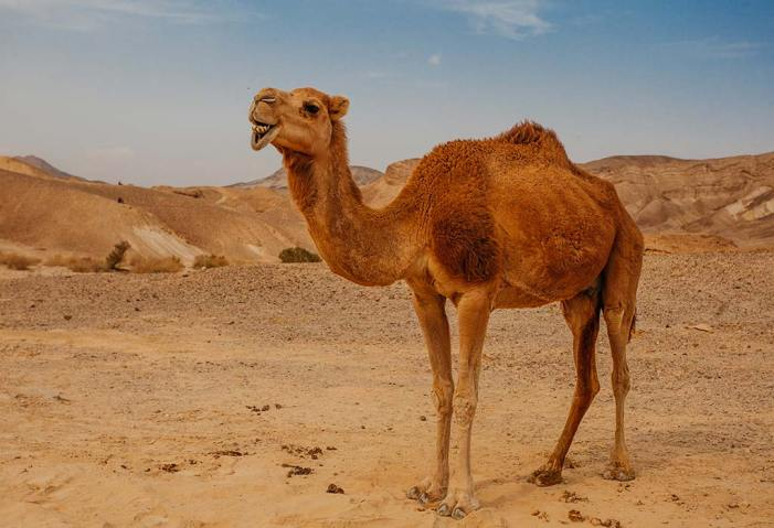 Traffic Rules For Animals? China Installs World's First Traffic Signal For Camels