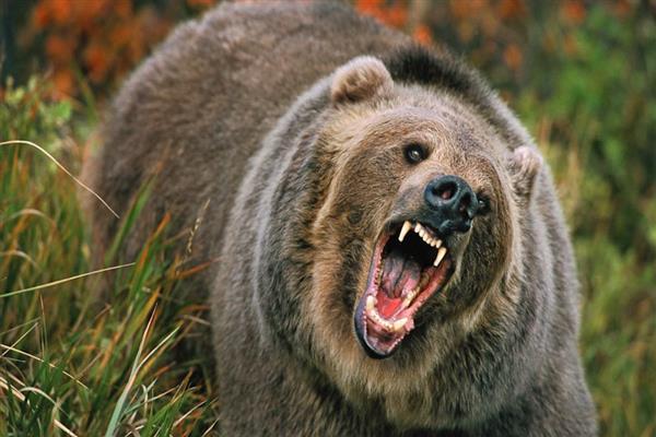 50-yr-old man injured in bear attack in Shopian