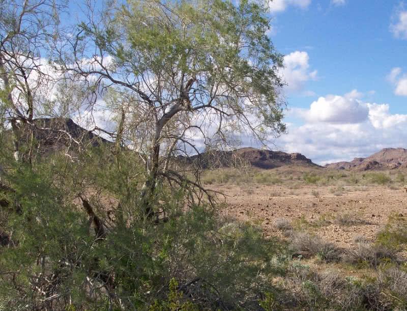 planta de madeira de ferro do deserto