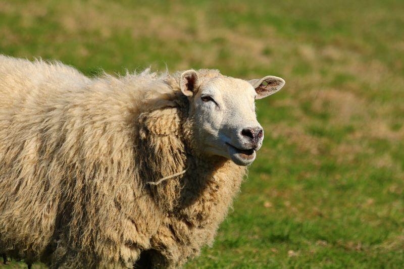 world's woolliest sheep chris