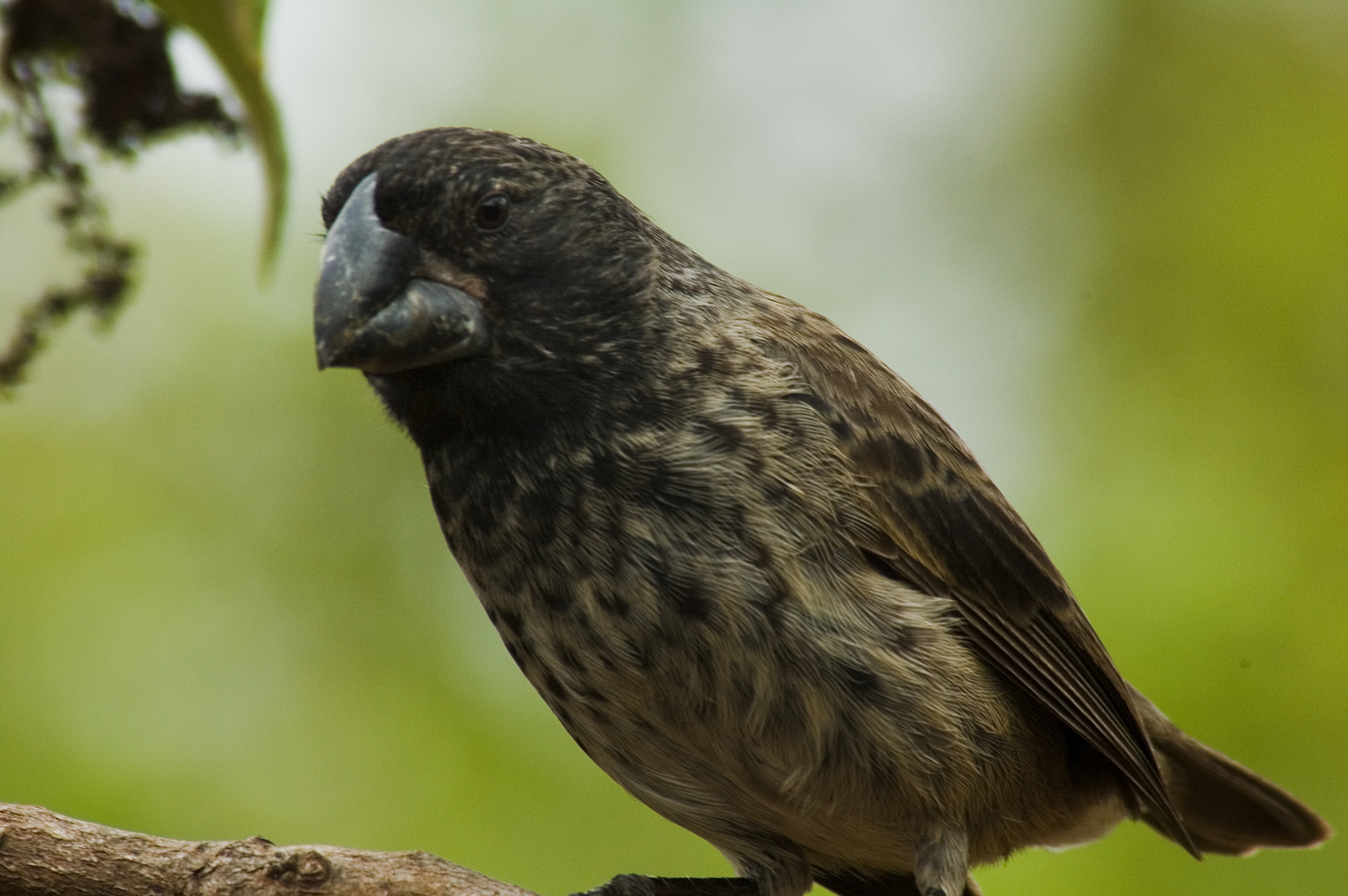 Galapagos Experiment Part I Darwin S Finches