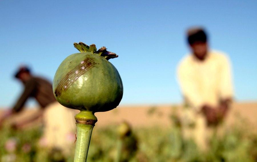 An opium field in Afghanistan