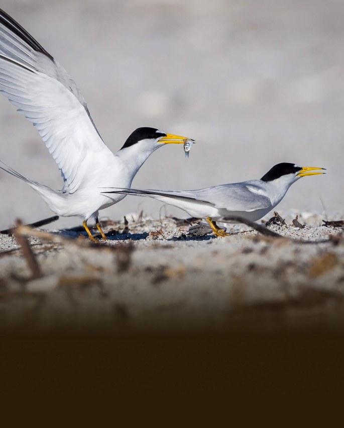 """Least Terns are a """"shorebird"""" that thrives in Ozark-St. Francis National Forest"""
