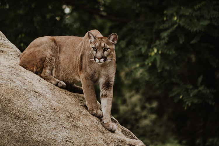 Mountain Lion - they are sometimes spotted in Plumas National Forest