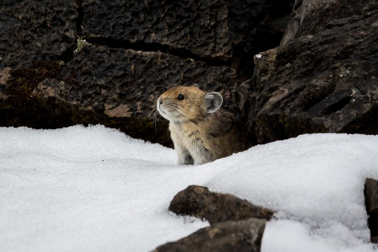 A pika, a less and less comon resident of Humboldt-Toiyabe National Forest