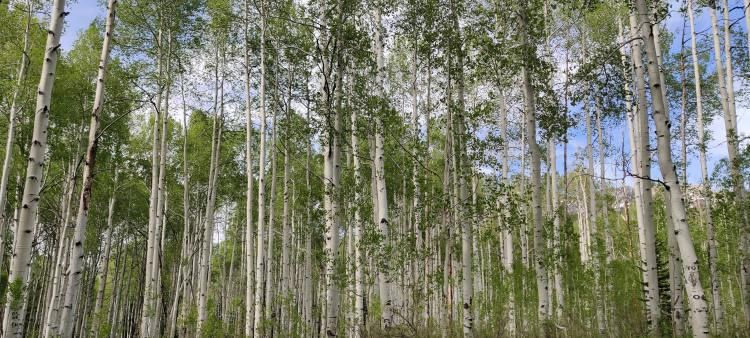 A stand of aspen trees in Gunnison National Forest