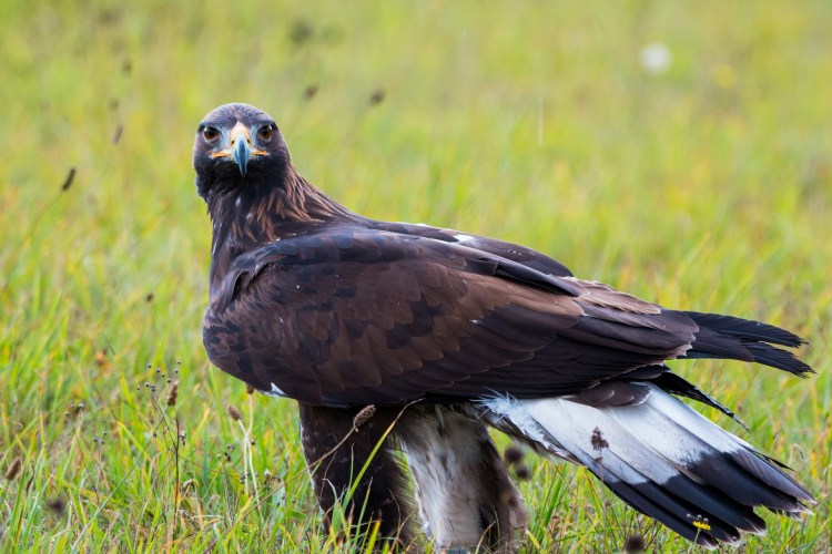 A Golden Eagle standing in grass - their is a healthy population of eagles in Gunnison National Forest.