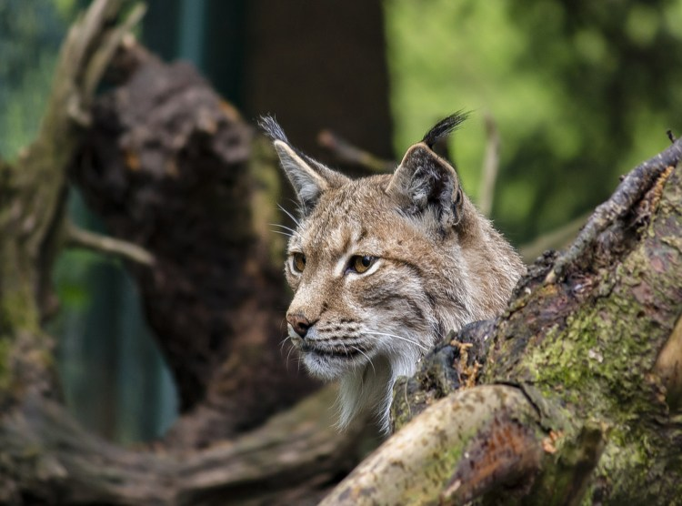 A lynx - although not commonly seen, they are present in Rio Grande National Forest