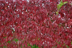 Virginia creeper - fall foliage
