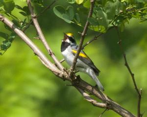 Golden poster-bird