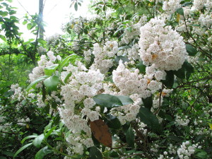 Mountain laurel - creative commons photo