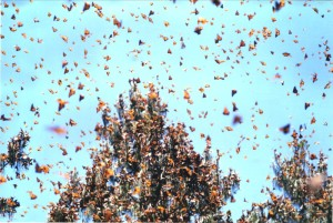 Monarchs roosting in Mexico - creative commons photo