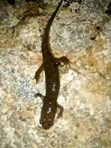 Black-bellied salamander Don Hendershot photo
