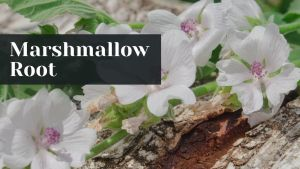 marshmallow root for dog UTI