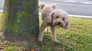 dog urinating on tree