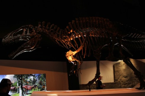A mounted skeleton of the theropod dinosaur Acrocanthosaurus at the Houston Museum of Natural Science in Texas with Cian Kinderman Photo Credit Zack Neher