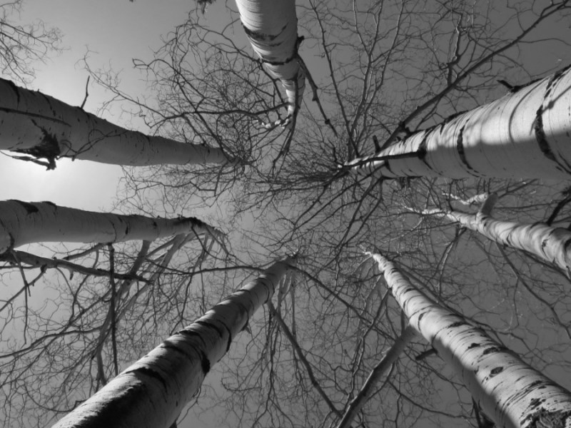 Black and white upshot of seven tall birch trees