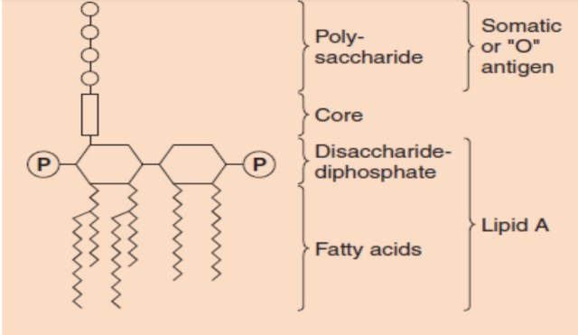 Lipopolysaccharide  bacterial structure