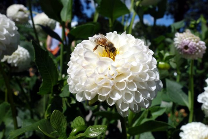 bee-white-dahlia_optimized