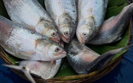 Bangladesh has banned the export of hilsa fish to India. So Padma Hilsa is still elusive to the people of this country.