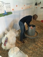 Blacksburg, Va., April 2- Turkeys: Junior Lexi Holloway cares for the presidential pardoned turkeys. Holloway plans to work in the poultry industry after graduation. Photo: Katie Lukens