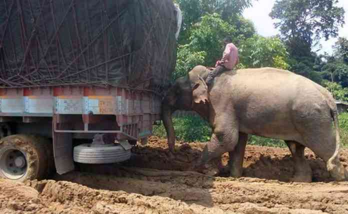 Elephants are being used to help trucks pass the 20-km stretch of NH8 connecting Tripura with Assam